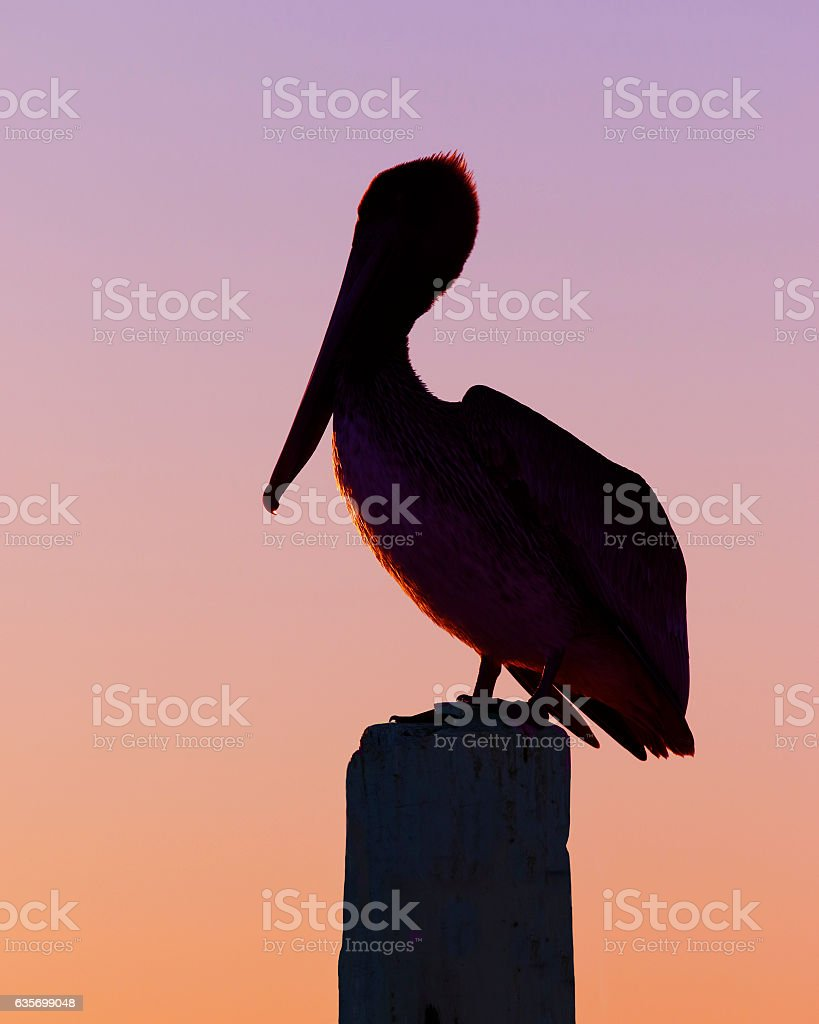 Silhouette of a Brown Pelican at sunset - Florida royalty-free stock photo