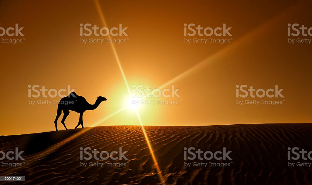 Silhouette of a camel walking alone in the Dubai desert stock photo