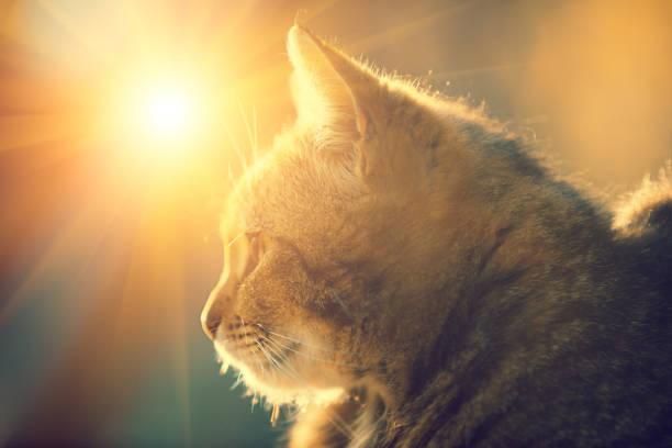 Silhouette of a cat lying outdoor against the sun picture id690342712?b=1&k=6&m=690342712&s=612x612&w=0&h=eqrux7hl3doevtlfh1ayjk8sl2affz fd sekqxsqgm=