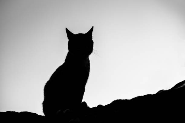 Silhouette of a cat sitting on a stone surface against the background picture id1266824786?b=1&k=6&m=1266824786&s=612x612&w=0&h=icetao7rvz5lwdxjc75scprzqlfs9hidiw5ot1imnqg=