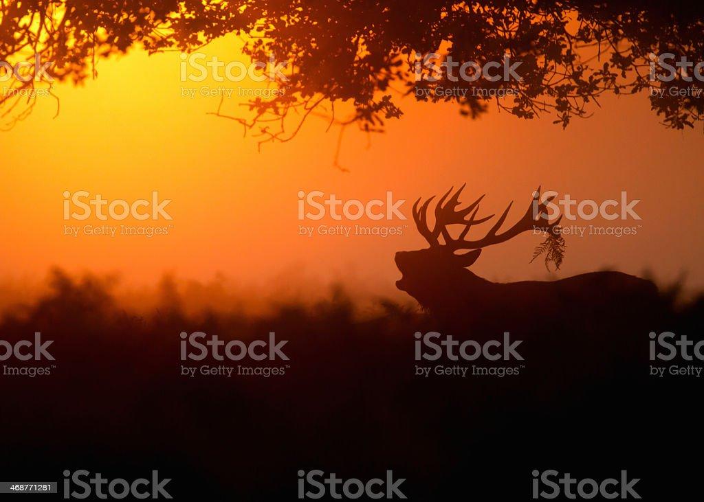 Silhouette of a Cervus elaphus red deer against orange sky stock photo