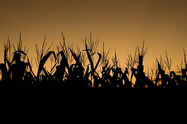 Corn Silhouette by basseca on deviantART   Cornfield Silhouette