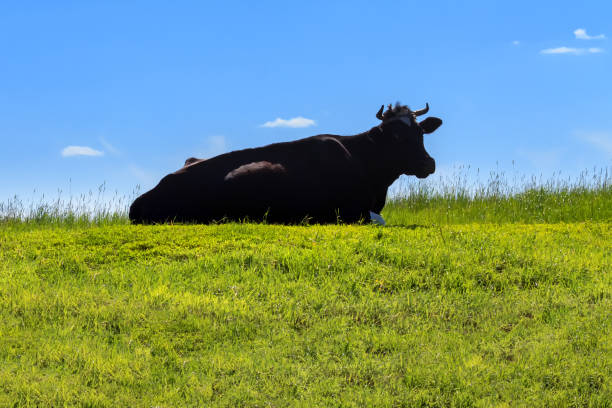 Silhouette of a cow lying on the grass against the background of the sky stock photo