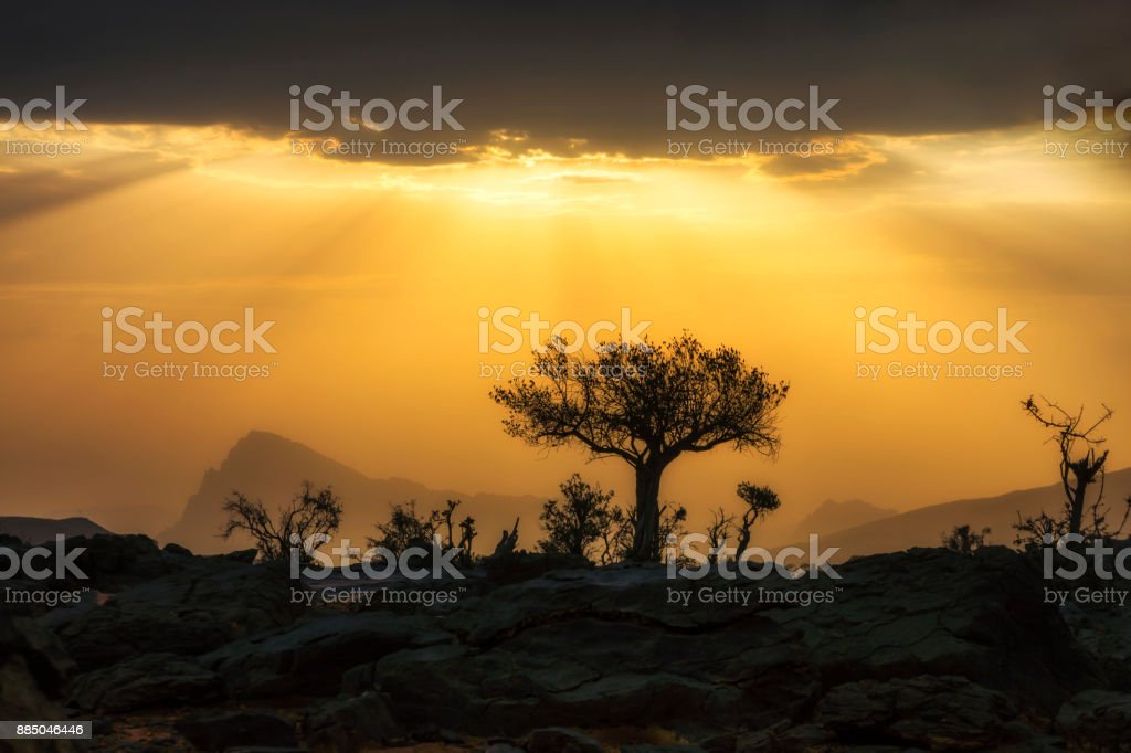 Silhouette of a desert tree at sunset at Jebal Shams, Oman stock photo