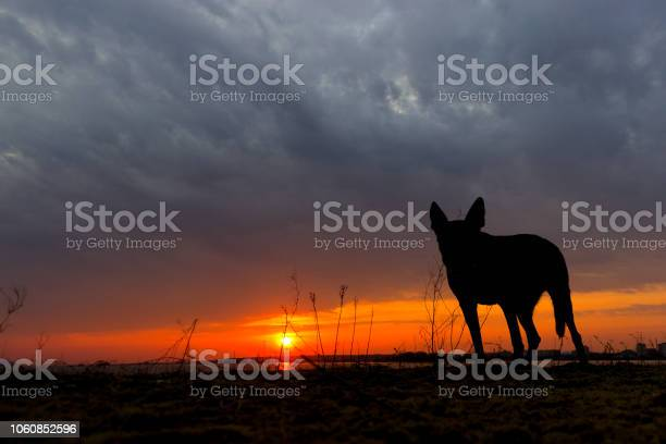 Silhouette of a dog watching a sunset picture id1060852596?b=1&k=6&m=1060852596&s=612x612&h=d8ozoatb1qgp 6emsxiz979fybz8 m yc25bhvntxju=