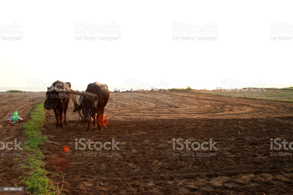 Silhouette of a farmer plows his field with a pair of Buffalo in preparation planting in India stock photo