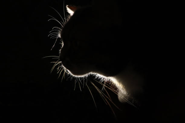 Silhouette of a fluffy cat on a dark background outlines of a pet in picture id1263581501?b=1&k=6&m=1263581501&s=612x612&w=0&h=20kdnvtv8wszohhxvehdso00x6rwpt2kg28wnc77zqk=