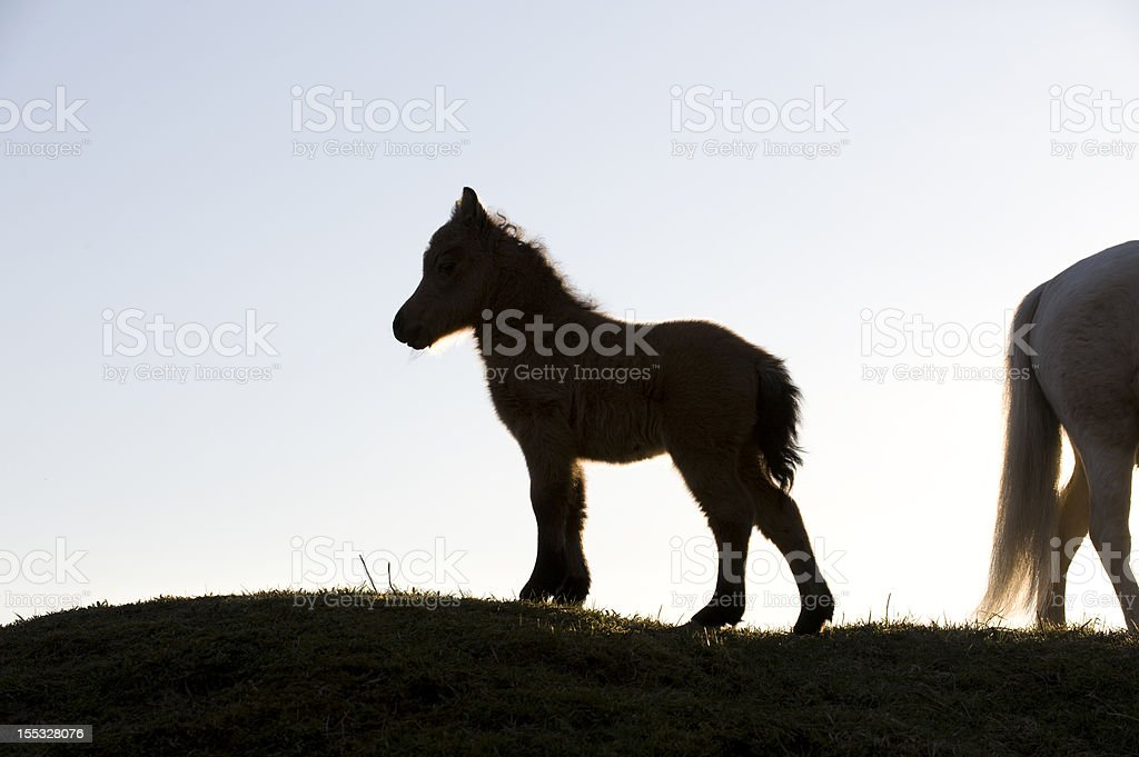 silhouette of a foal stock photo