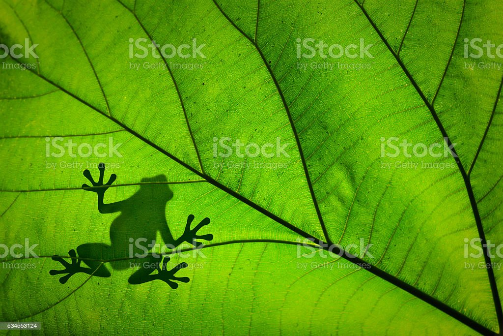 Silhouette of a frog across a green leaf stock photo