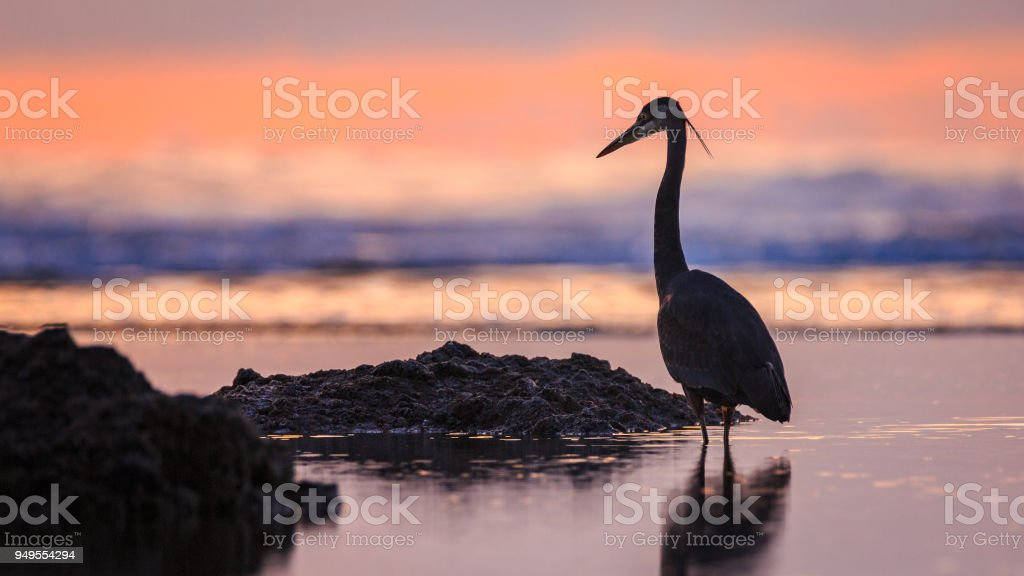 Silhouette of a great blue heron on the beach at sunset at Cape Perpetua, Oregon stock photo