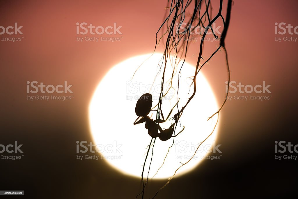 silhouette of a hanging ant with sunset in the background stock photo
