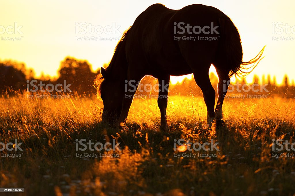 Silhouette of a horse on a pasture in rim light royalty-free stock photo
