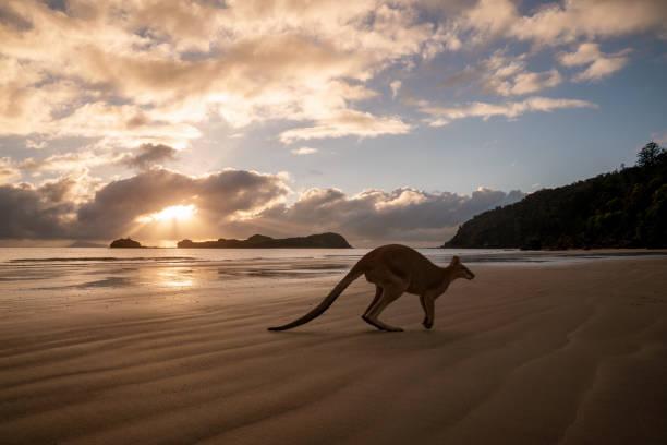 Silhouette eines Kängurus am Strand – Foto