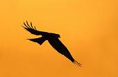 Silhouette of a red kite (Milvus milvus) in flight, UK.
