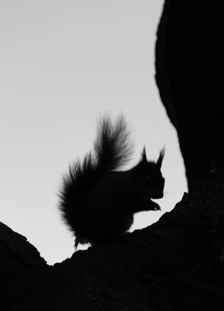Silhouette of a Red Squirrel in a tree stock photo