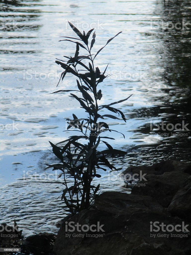 Silhouette of a Reed Growing in a River stock photo
