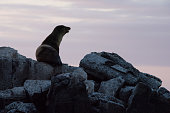 As the sun sets, a Sea Lion is looking in to the sunset on a rock off the Island of Floreana, Galapagos Islands