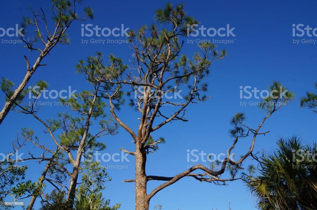 silhouette of a slash pine tree stock photo