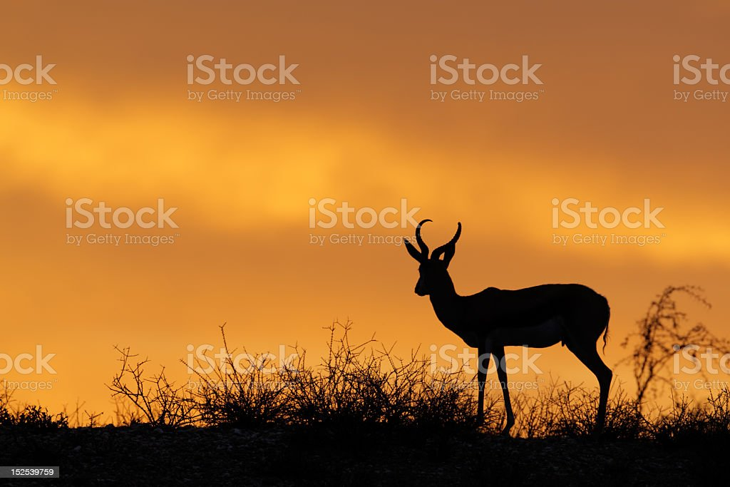 Silhouette of a springbok against dramatic sunset stock photo