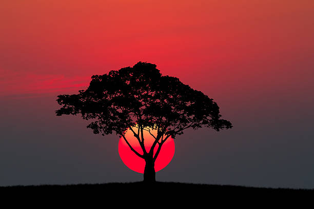 silhouette of a tree and meadow with sunset - 大自然美 個照片及圖片檔