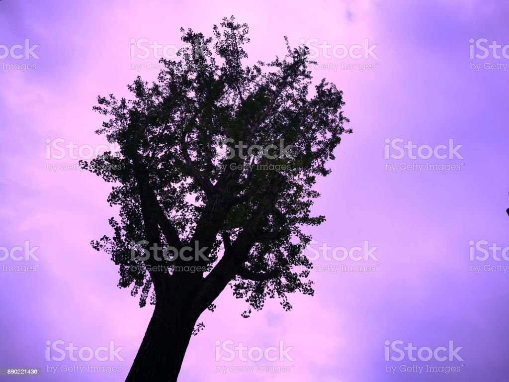 Silhouette of a tree on purple and pink background. stock photo