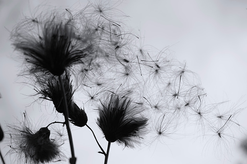 Dry wild plant with seeds in the wind. It looks like a dandelion. Black and white nature background. Silhouette of a wild flower against the sky. Monochrome.