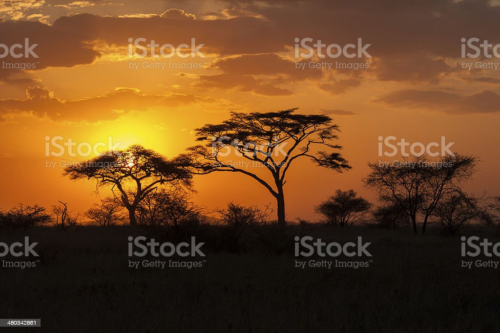 Silhouette of acacia trees at Sunset. stock photo