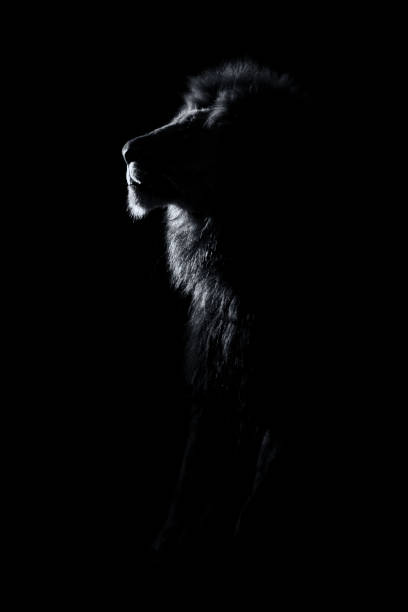 Silhouette of an adult lion male with huge mane resting in the picture id910637428?b=1&k=6&m=910637428&s=612x612&w=0&h=urrssuljn2abz5e4psqpqqbqtlosws kmal uoqsyb8=