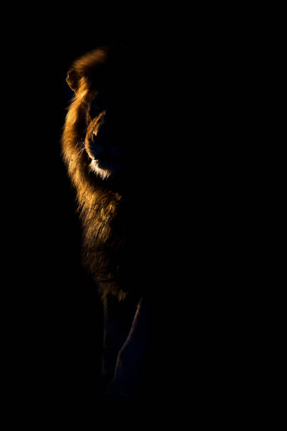 Silhouette of an adult lion male with huge mane walking in the picture id948508040?b=1&k=6&m=948508040&s=612x612&w=0&h=iheqzfvhgceiz izd9bipmxk0w3olh71yctacgsnwq4=