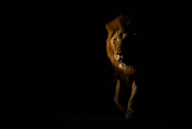 Silhouette of an adult lion male with huge mane walking in the picture id951661584?b=1&k=6&m=951661584&s=612x612&w=0&h=eehluswjm0e 9vebdujx5lpxgyw44ghdcmtyyzeeqji=