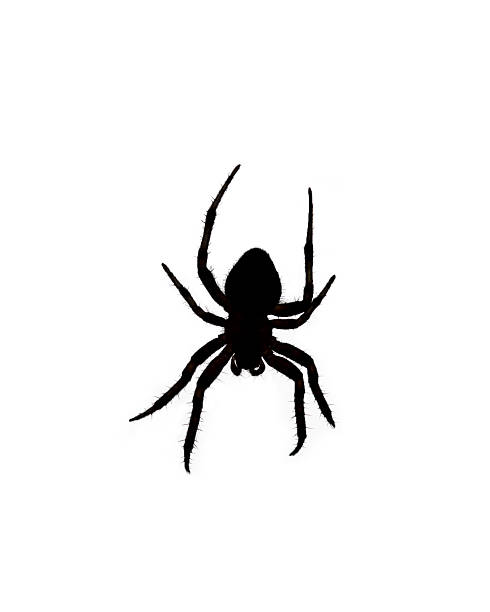 Silhouette of an Orb Weaver Spider Over White stock photo