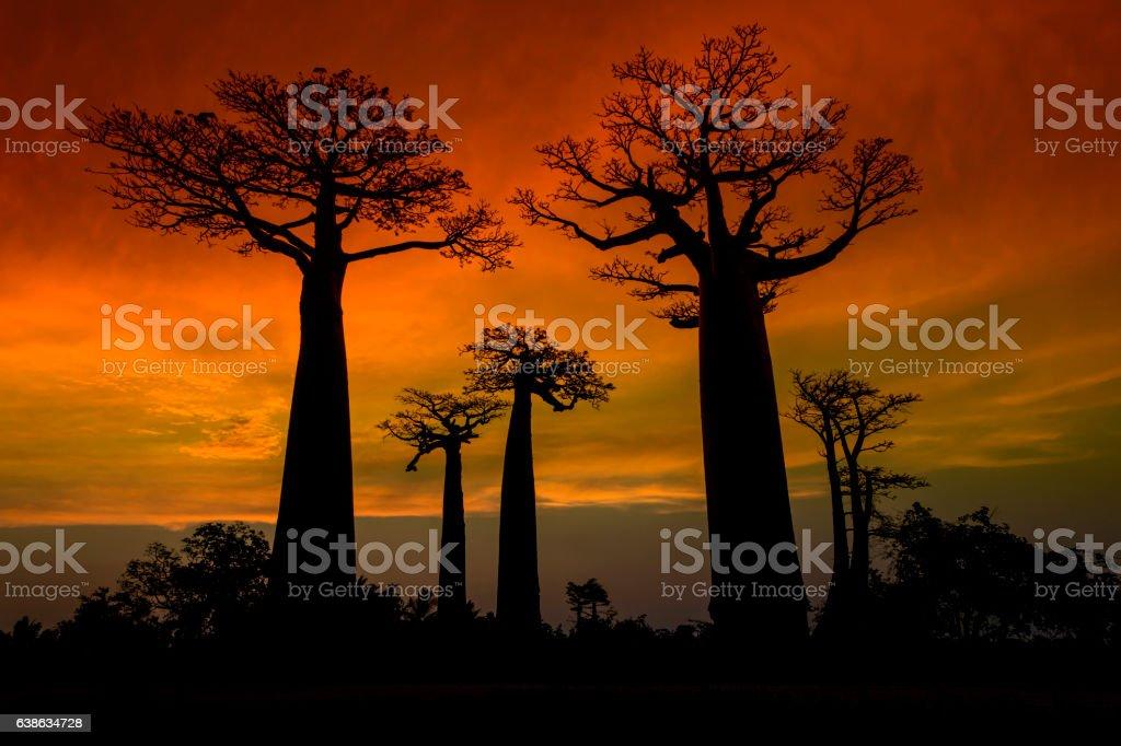 Silhouette of Baobab trees in Madagascar bildbanksfoto