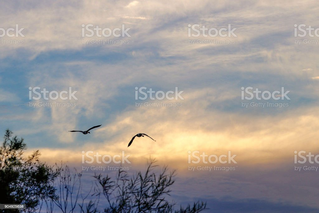 Silhouette of birds flying at sunset stock photo