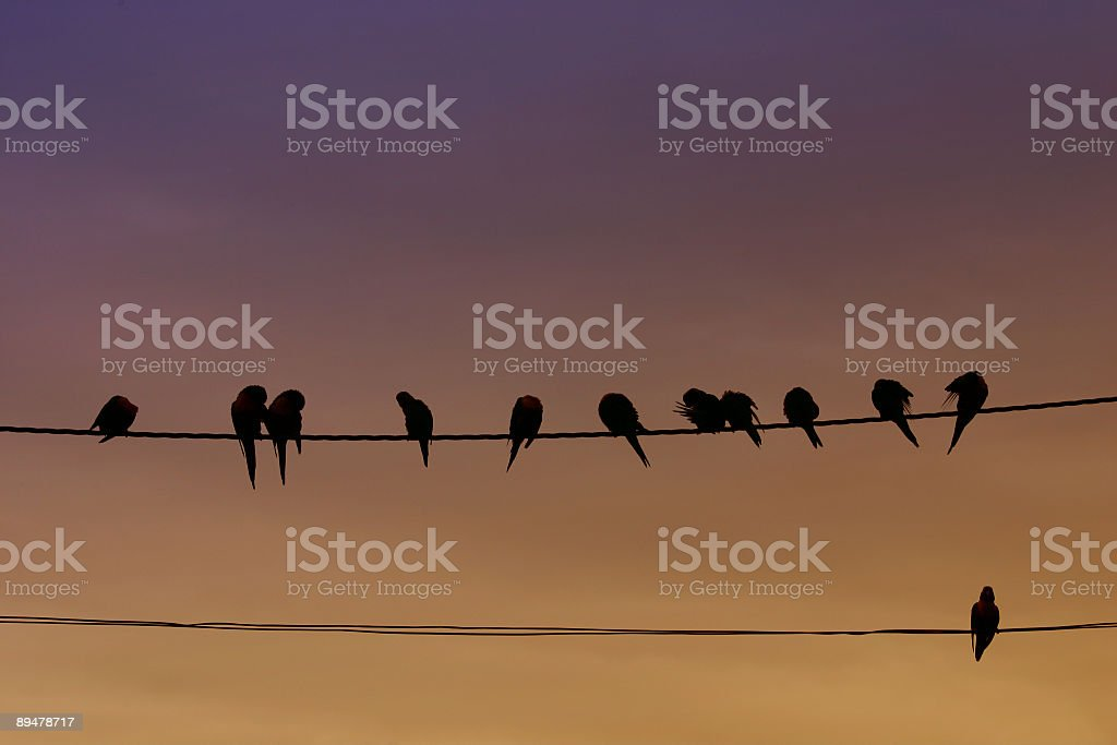silhouette of birds on wires in the evening stock photo
