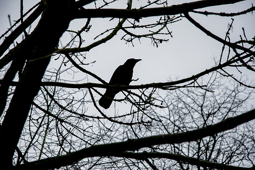 Silhouette of black crow in a tree winter