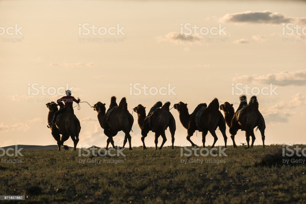 Silhouette of camel rider going wih other camels tied with rope in backlight stock photo