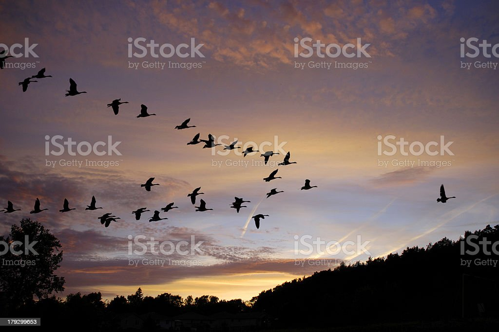 Silhouette of Canadian geese with sunset stock photo