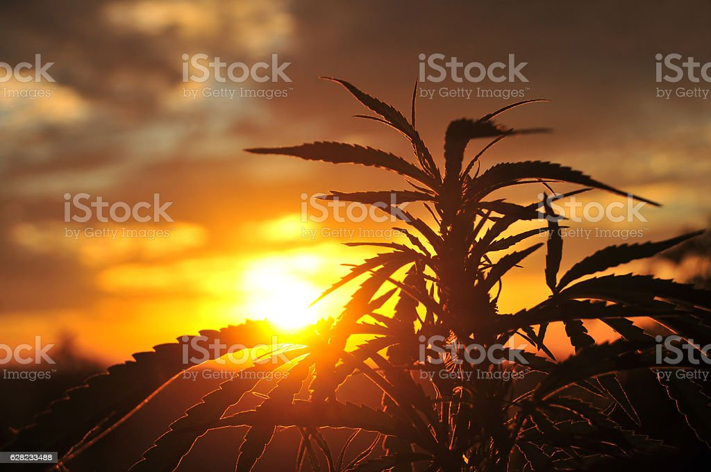 Silhouette of cannabis plant at sunrise – Foto