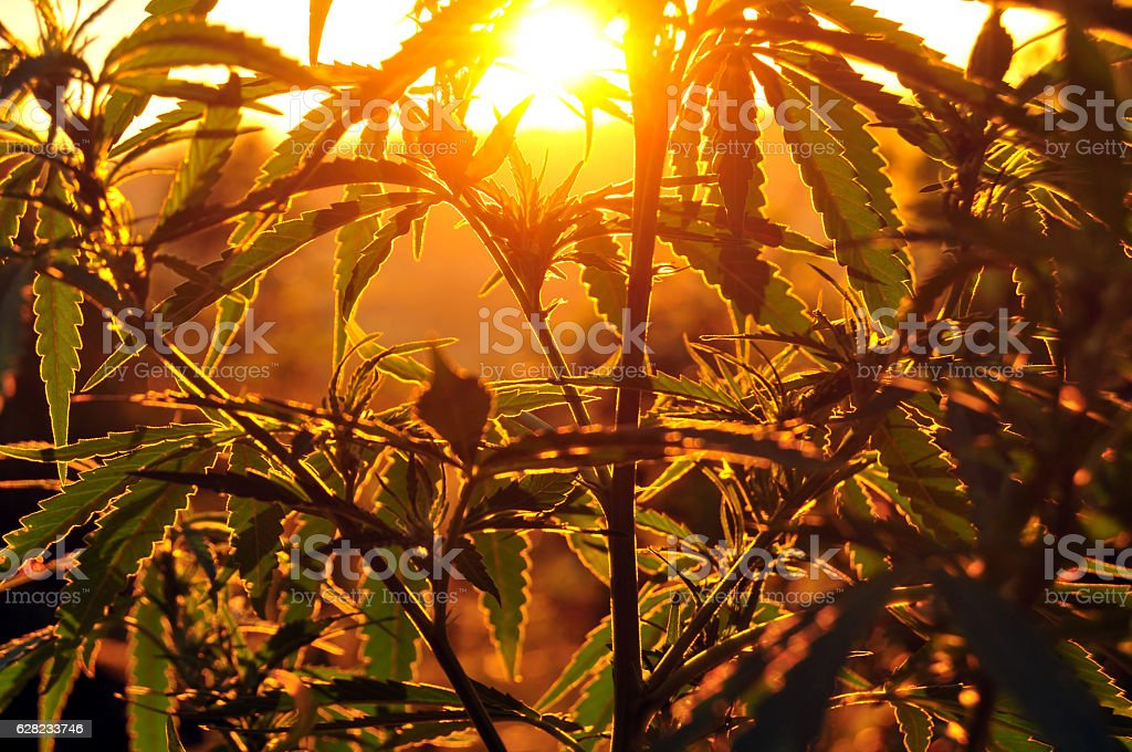 Silhouette of cannabis plant at sunrise stock photo