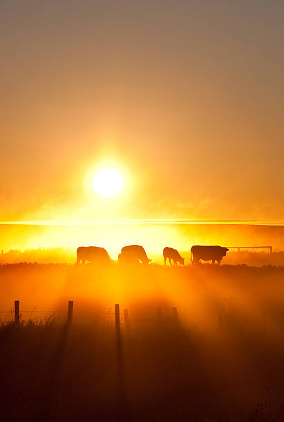 silhouette of cattle walking across the plans in sunset stock photo