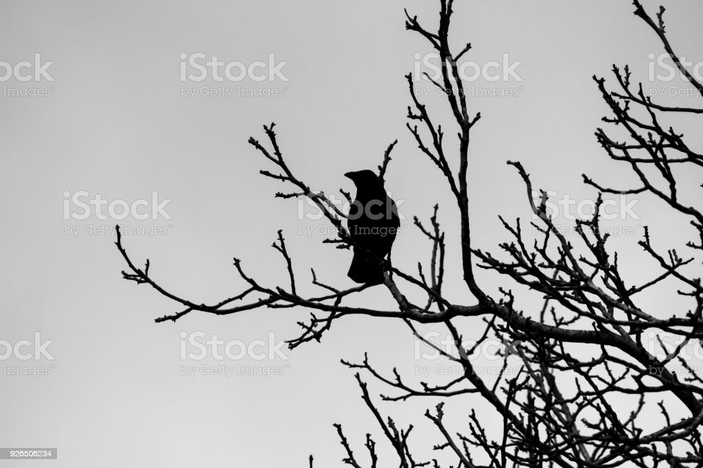 Silhouette of crow in bare winter tree stock photo