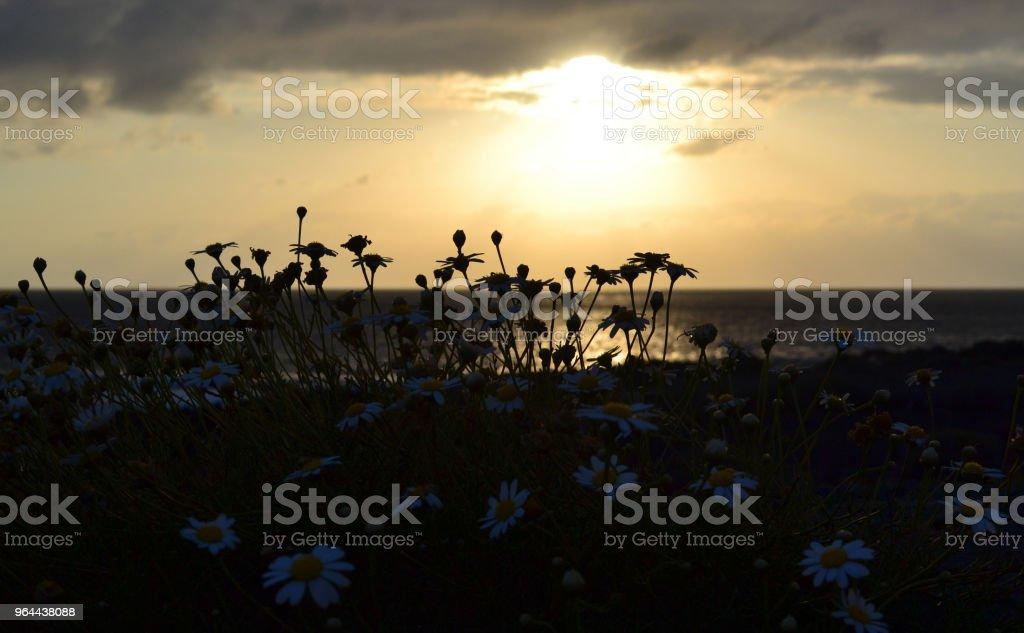 Silhueta de margarida flores na costa do oceano ao longo do fundo por do sol - Foto de stock de Amarelo royalty-free
