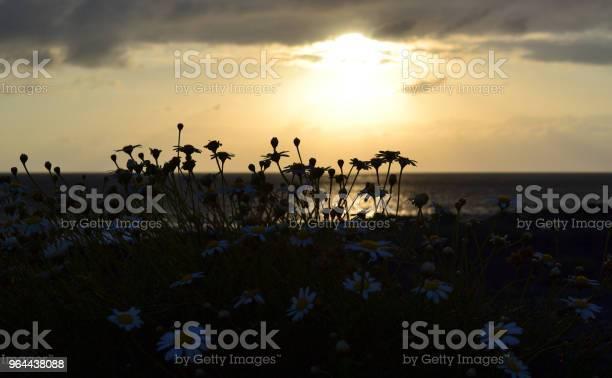 Foto de Silhueta De Margarida Flores Na Costa Do Oceano Ao Longo Do Fundo Por Do Sol e mais fotos de stock de Amarelo