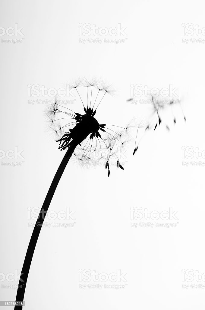 Silhouette of dandelion head on white background stock photo