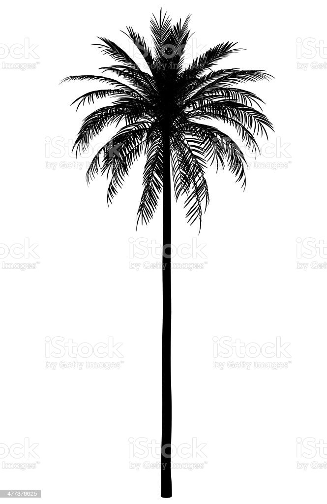 silhouette of date palm tree isolated on white background stock photo