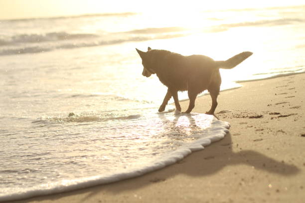 Silhouette of Dog at Beach at Sunset stock photo
