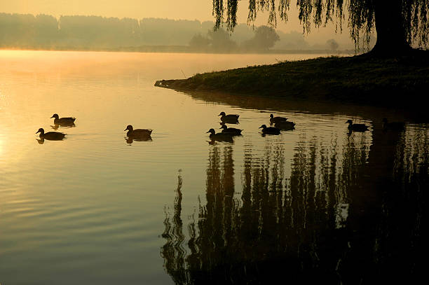 Silhouette of Ducks on Pond at Sunset stock photo