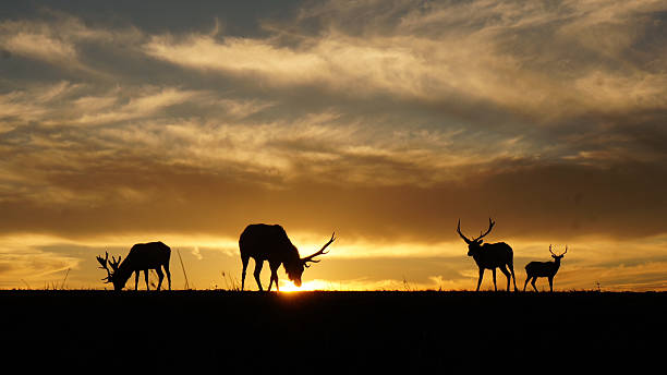 Silhouette of Elks stock photo