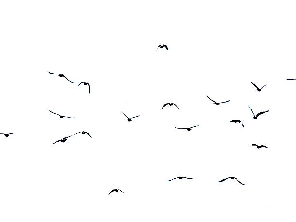Silhouette of flying pigeons on white background stock photo