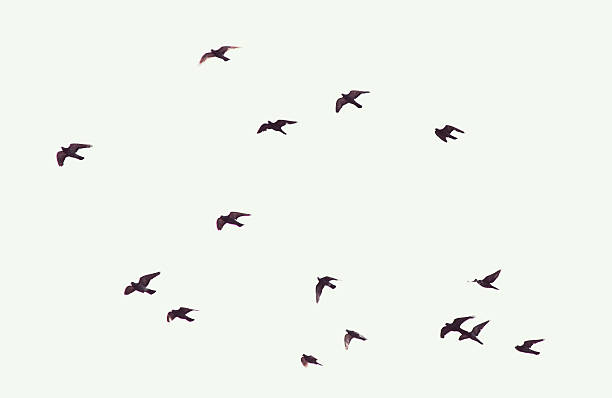 silhouette of flying pigeons - bird stock photos and pictures